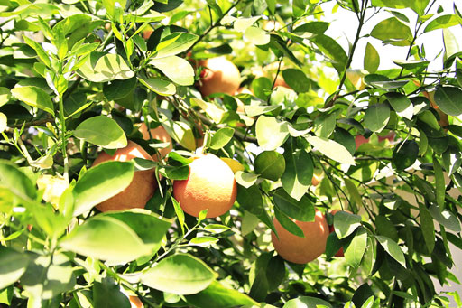 Growing Citrus in the desert