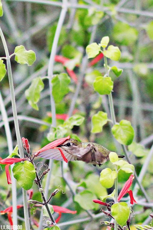 Wildflowers Palm Desert - Wildflower Festival - Chuparosa - Hummingbird Bush