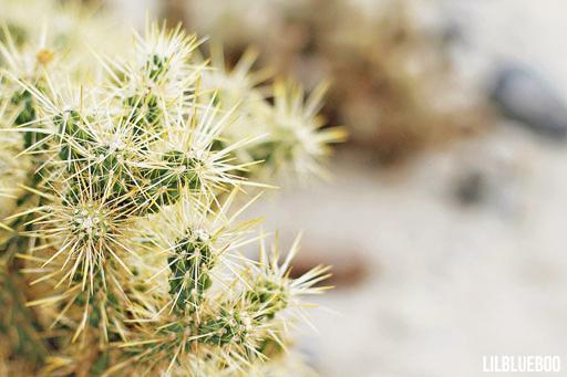 Wildflowers Palm Desert - Wildflower Festival - Cholla Cactus