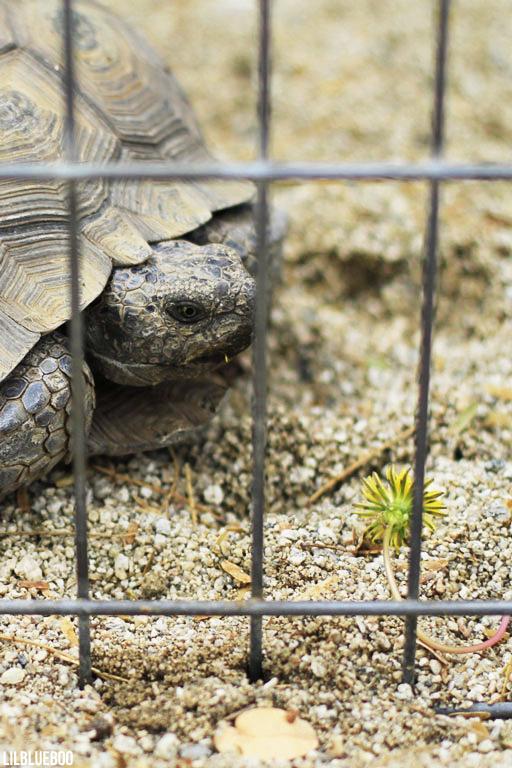 Wildflowers Palm Desert - Wildflower Festival - Desert Tortoise