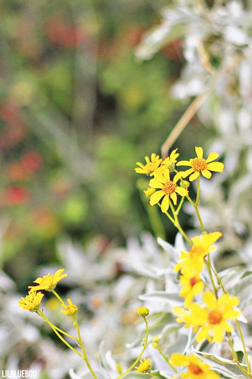 Wildflowers Palm Desert - Wildflower Festival - Brittlebush Flowers