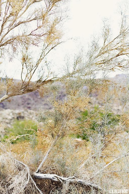 Wildflowers Palm Desert - Wildflower Festival - Smoke Tree