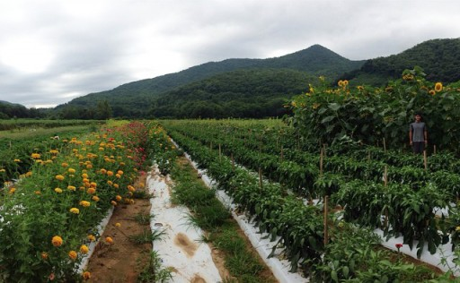 Sunflowers at Darnell Farms in Bryson City, NC