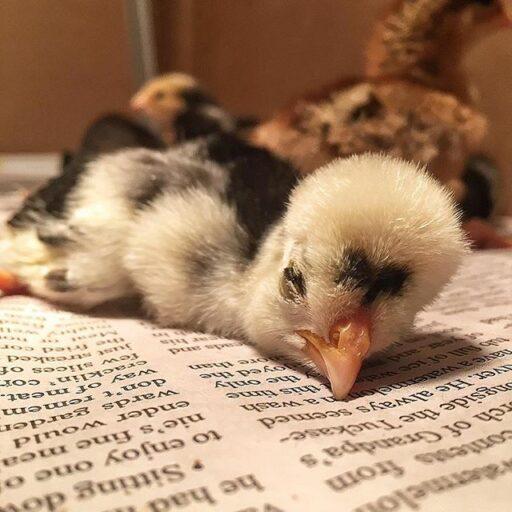 Raising Polish Frizzle Chicks