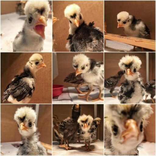 Foshizzle the polish frizzle - animals of instagram - backyard flock