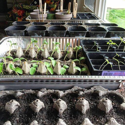 Spring gardening and heirloom seeds - growing seeds indoors