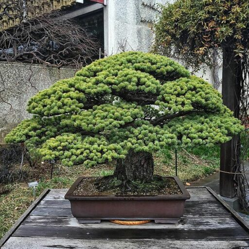 400 Year old Bonsai tree that survived Hiroshima, Yamaki White Pine
