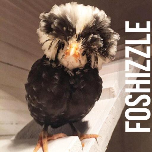 Foshizzle the polish frizzle chicken - backyard flock