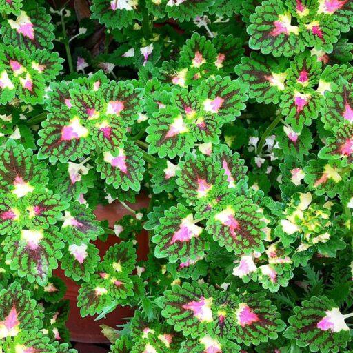 Biltmore Conservatory - Strawberry Dew Drop Coleus #biltmoreblooms