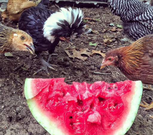 Chickens and Watermelon