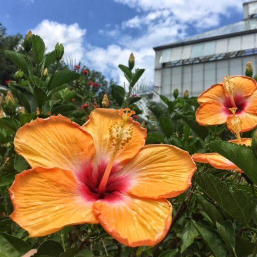 Biltmore Blooms at the Biltmore Estate - Hibiscus
