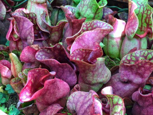 Southern Purple Pitcher plant