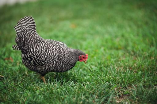 Barred Rock Hen - Lil Blue Boo chicken