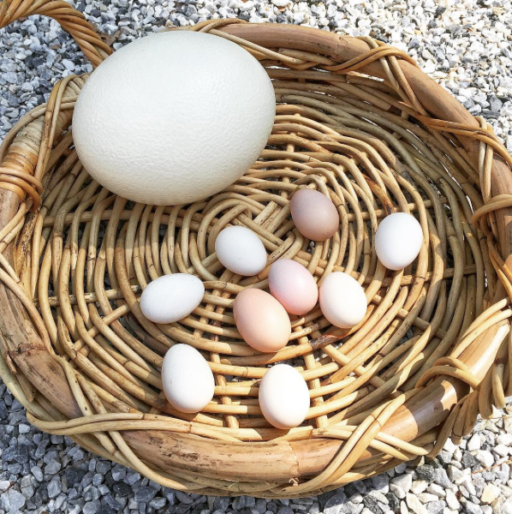 Tiny chicken bantam eggs vs. ostrich egg
