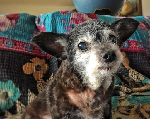 Happy the Senior Rescue Dog