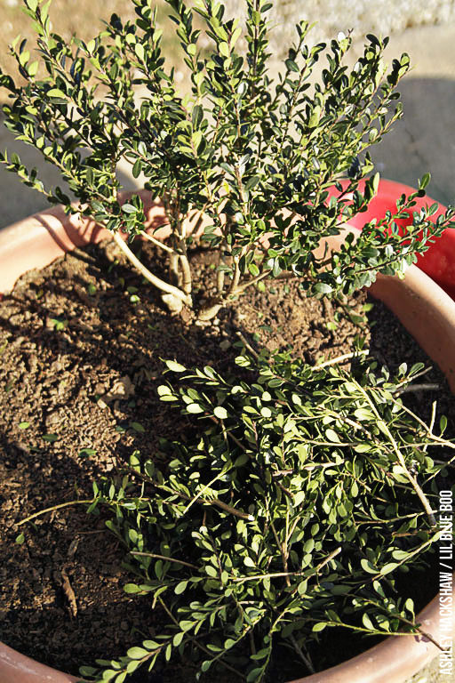 Making a bonsai tree for a fairy garden