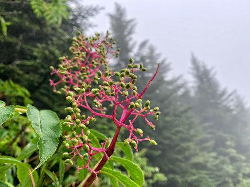 Elderberry Fuschia branches